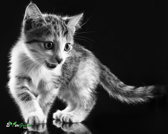 pet, animal, kitten