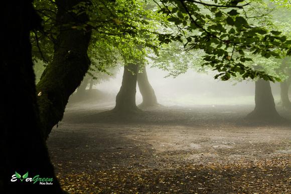 foggy wood